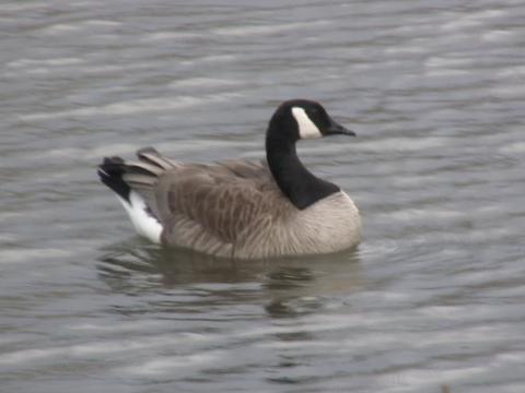 wpid-still-goose-2008-09-15-15-23.png