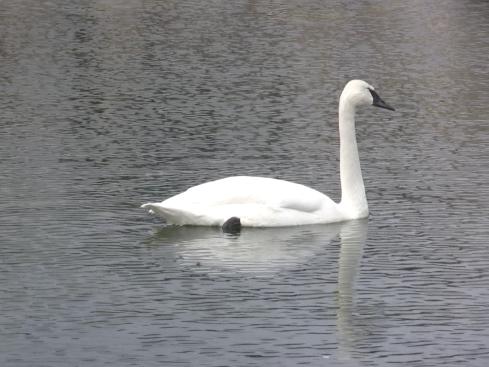 wpid-still-swan-2008-09-15-15-23.png
